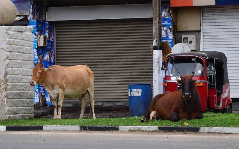 indyjskie krowy cieszą się swobodą